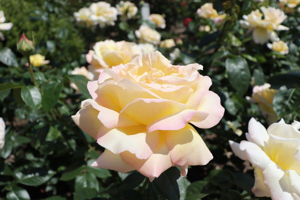 駕与丁(かよいちょう)公園のバラ祭り